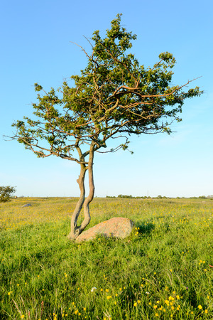 battered land: One single twisted and tormented tree growing beside stone boulder on grass plain. Blue sky above and green grass below.