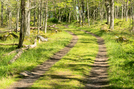 shaddow: Small road or lane in the green forest. Forest floor is full of grass and other vegetation. Sunshine and shaddow mix in undergrowth.