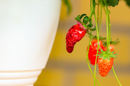 hanging basket: Ripe strawberry ready to harvest from a white hanging basket. Stock Photo