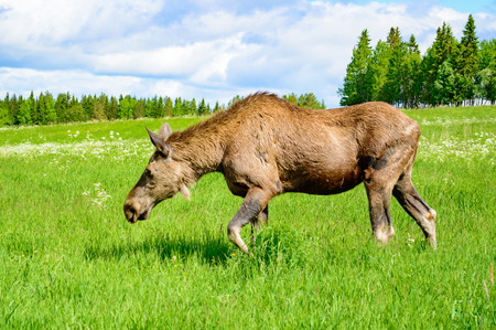one adult: One adult female moose grazing in grass field in the summer. Forest in background. Stock Photo