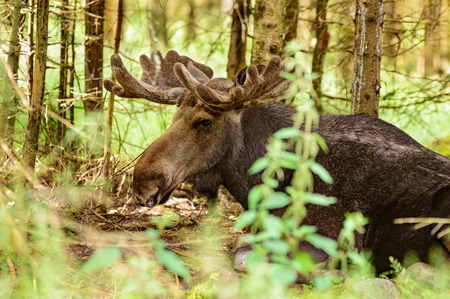 summer trees: The moose, Alces alces, is the largest living deer. Close up of male or bull lying down among the trees in the forest. Velvet on antlers.