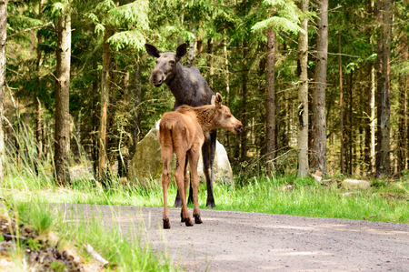 mother and baby deer: The moose, Alces alces, is the largest living deer. Young calf and its mother seen on dirt road in spruce forest. Stock Photo