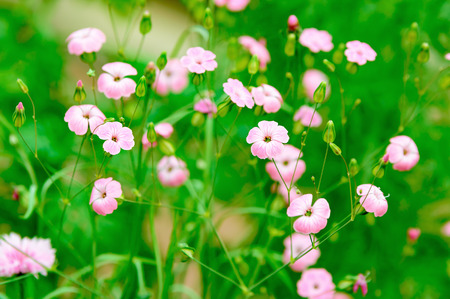 linum usitatissimum: Pink flax flowers against green background. Flax (Linum usitatissimum) is also known as linseed. It has usually blue or white flowers but this is a pink variety. A very romantic and fine flower. Stock Photo