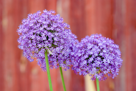 allium flower: Beautiful and lush purple Allium flower against red background. Focus on front most flower and the others blurred. Green stems but no leaves.