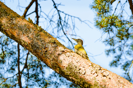 viridis: European green woodpecker (Picus viridis). Here seen sitting on a branch up in a pine tree. The bird is looking for food. Pine needles and sky visible in background. Stock Photo