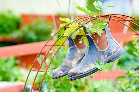 Recycle or up cycle in the garden. Here is a pair of boots hanging from iron rebar. Boots contain plants of wild strawberrys. Stock Photo