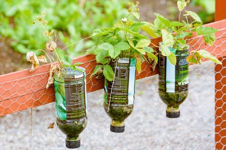 Estocolmo, Suecia - 04 de julio 2015: Recicle o hasta ciclo en el jardín. Aquí hay cuatro botellas de PET con fondo de corte y colgado boca abajo con el suelo en el interior. Fresas salvajes crecen bien en estos.