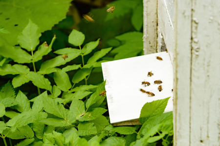 pet valuable: A beehive with bees flying through a slot in the hive. Some bees sit on a landing platform and are ready to take off. Green leaves of vegetation in background. Focus on sitting bee on platform.
