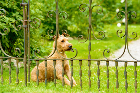 watchfulness: Lovely brown terrier sitting behind a rusty old iron gate, looking out. Lots of green grass and vegetation blurred in background. Small part of gravel lane visible. Rural scene.