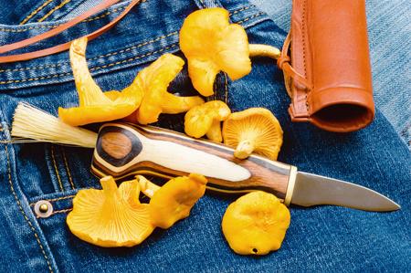 scheide: Neu Pfifferlingen und ein Pilzmesser auf einem Paar Jeans gepflückt. Lizenzfreie Bilder