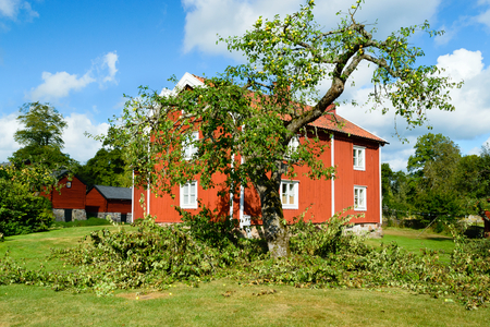 old times: A pruned apple tree with lots of cut branches on the ground. Lovely red wooden house in background. Old times gardening on a fine summer day.