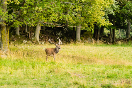 rut: One red deer (Cervus elaphus) stag with nice antlers, walking out of the woods and into grassland. Time is late summer and the rut is soon to start. Stag is looking out over the field.