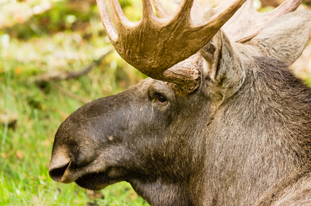 big moose: Very close portrait of a moose bull (Alces alces) seen from a slight angle from behind. Stock Photo