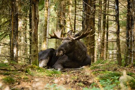 toro: Bull Moose (Alces alces), con cuernos finos que descansan en los bosques de abeto densa. Moose est� despierto pero relajado y mirando algo en la distancia.