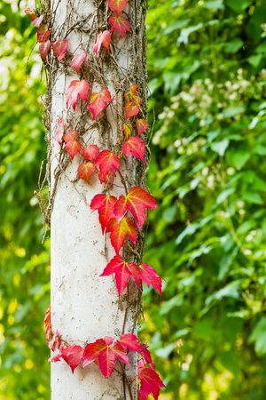 white pole: Ivy aka hedera climbing on a white pole in a graden. The ivy leafs are turning beautifully red and yellow in the fall as they prepare for the coming winter. Green foliage in background. Stock Photo