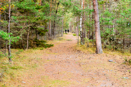 A straight hiking trail or path in pine forest in fall. The odd birch tree is mixed in with the pines. Pine needles are scattered on the trail. An unknown adult couple is walking away in the distance.
