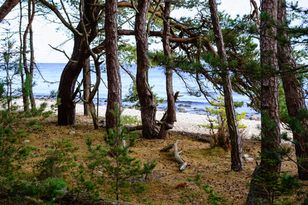 ocean and sea: Old pine trees close to a limestone beach. Beach and sea in background. Stock Photo