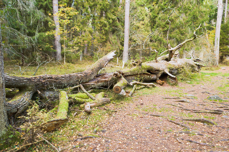 habitats: Coarse woody debris or habitat on the forest. Fallen trees are very important food source and habitats for many fungi, insects and other animals. This is an old oak tree that fell many years ago.