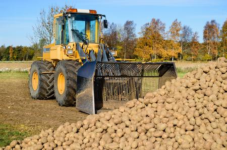 cargador frontal: Un cargador frontal estacionado frente a un gran montón de patatas en un campo de agricultores. Es otoño y los árboles en la espalda son de colores. Es tiempo de la cosecha de patatas. Foto de archivo
