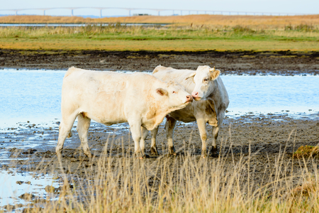 roaming: A pair of almost white cows stand in the shallow water in late afternoon sunlight. These cows are free roaming in a nature reserve to keep the landscape open. The cows are affectionate and kiss.