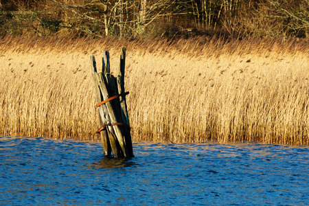 inlet bay: Old rotting wooden leftover from earlier mooring place in the bay. Reed and forest in background. Late December in Jarnavik bay outside Ronneby, Sweden.