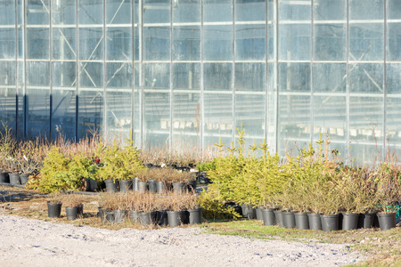 Winter hardy plants stand outside a greenhouse. Plants and young trees stand in black plastic pots. Greenhouse with translucent glass windows in background. Stock Photo