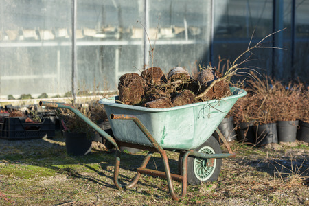 A green garden wheelbarrow full of discarded plants. Greenhouse in background. Stock Photo