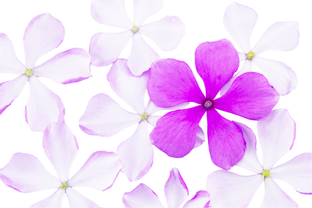 Vinca rosea flower isolated on white background.