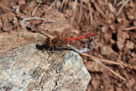 dragonflies mating on the rock Stock Photo
