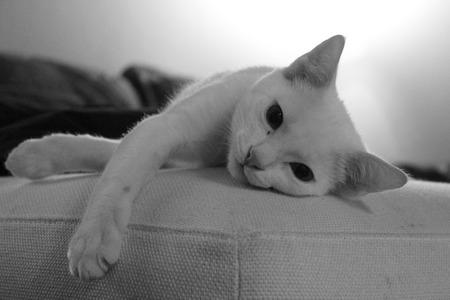 white sofa: white cat lying on sofa Stock Photo