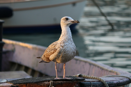 bow of boat: Seagull on the bow of a boat Stock Photo