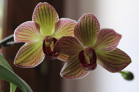 detail of two-color orchid flowers