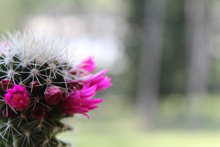 Small pink flowers of cactus stock photo picture and royalty free small pink flowers of cactus stock photo 68406618 mightylinksfo