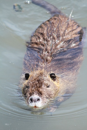 nutria: nutria swimming in bisenzio Stock Photo