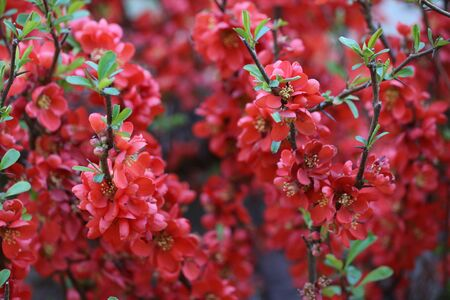 close-up of a hedge with red flowers Фото со стока