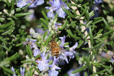 bee on a rosemary flower Фото со стока