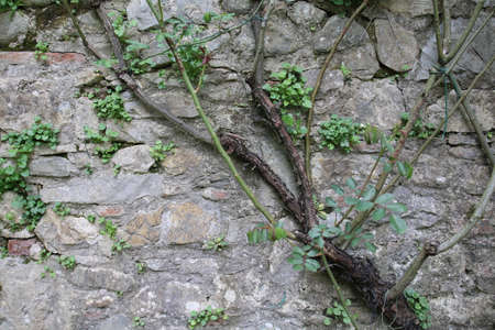 texture of climbing plants on a wall near a river
