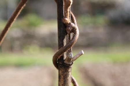 stem of kiwi plant Фото со стока