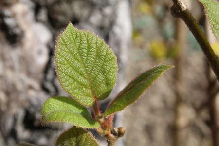 Kiwi plant leaf