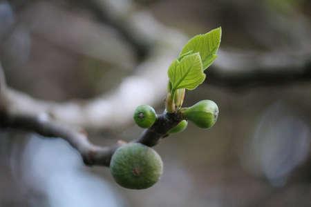 fig tree branch with fruit Фото со стока