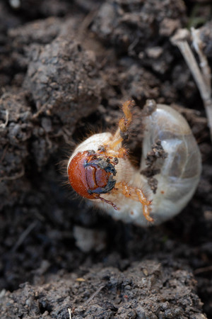 macro photo of a larva out of the earth Stockfoto