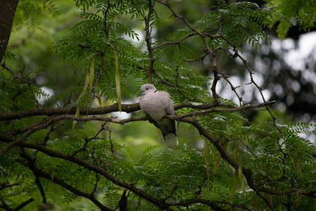 dove rests on a branch