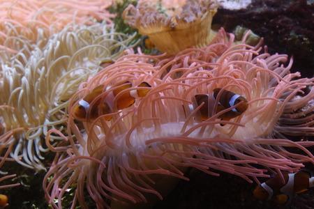 El pez payaso se esconde dentro de una anémona