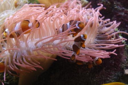 Clownfish hide inside an anemone Stockfoto