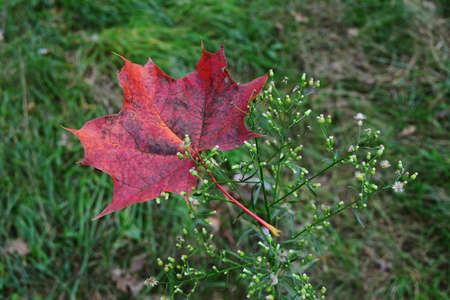 Autumn photo by red maple leaf for your design projects. Stock Photo