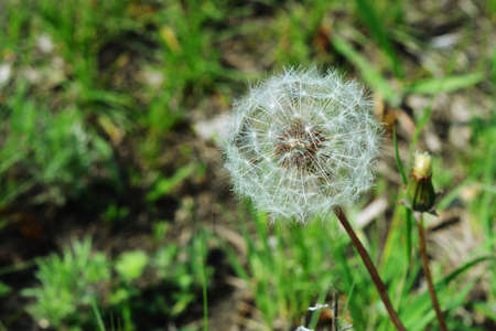 blowball: Spring photo of blowball for your projects Stock Photo
