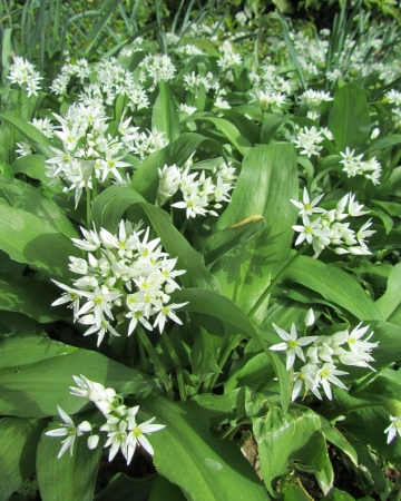 Wild Garlic, Allium ursinum, Ransoms, flowering in the spring in a natural woodland setting photo