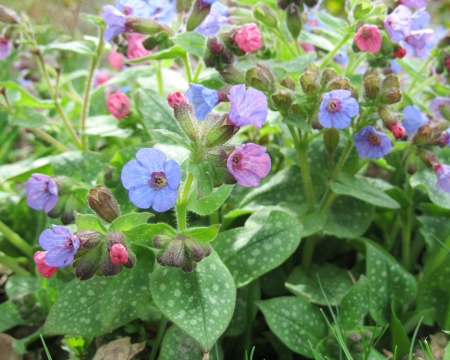 perennial: Pulmonaria officinalis,  Borage   An attractive low growing, spring flowering perennial plant in a natural setting