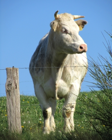 Curious Cow: A Belgian Blue cow gazing over a barbed wire fence, in a grass meadow with a background of blue sky.                                photo