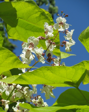 catalpa: The lovely white flowers of Catalpa (Indian Bean Tree) against a background of blue sky.